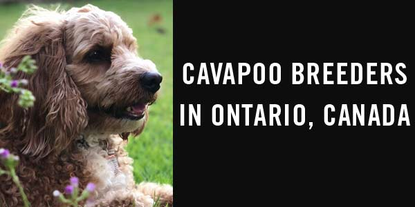Cavapoo breeders in Ontario, Canada