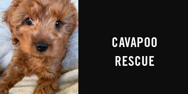 Cavapoo rescue: cavapoo adoption guide