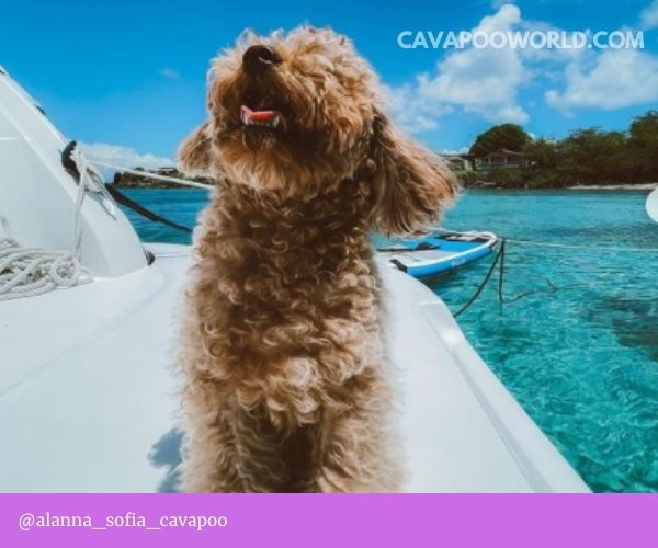 Cavapoo is bred to be a loyal, calm, smart companion for families