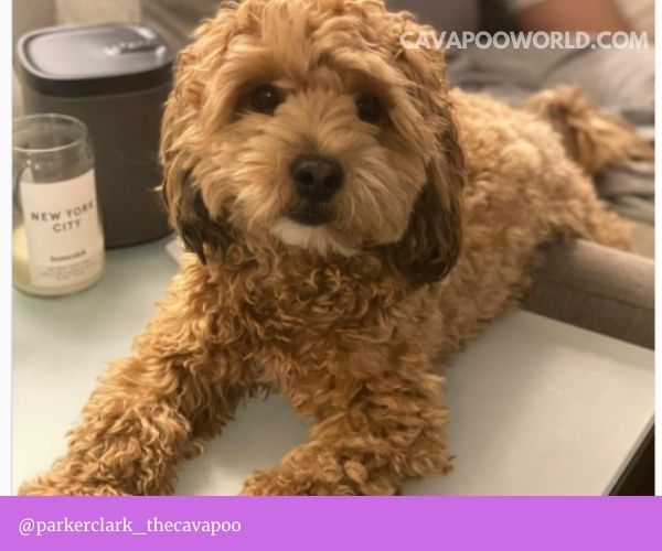 Cavapoo dogs are generally a fairly healthy crossbreed