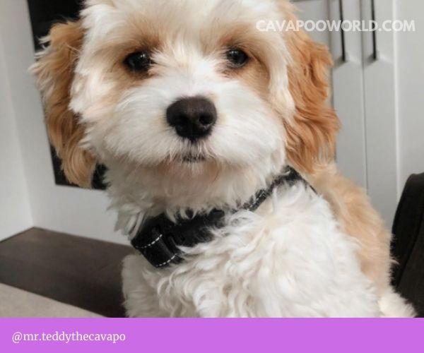 cavapoo will trigger your allergy symptoms