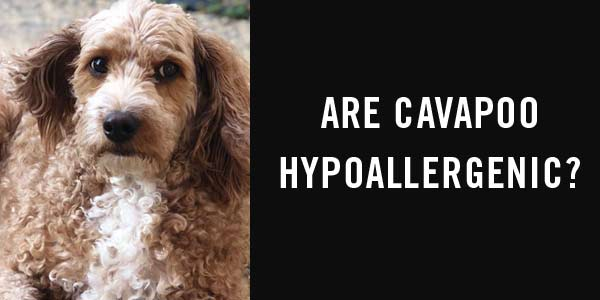 Are cavapoo hypoallergenic?