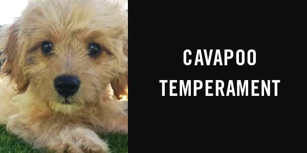 Cavapoo temperament