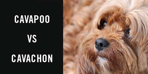 Cavapoo vs Cavachon - Cavapoo World