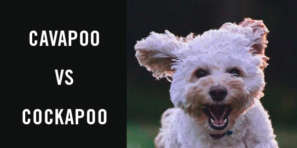 Cavapoo vs cockapoo: which dog is better for YOU?