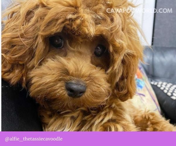 Cavoodle puppies for sale NSW