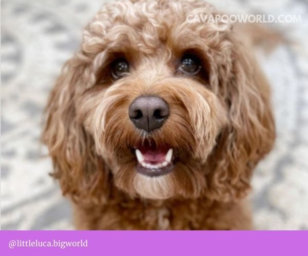 Cavoodle puppies for sale NSW: Chevromist Kennels