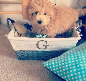 Gus the Cavapoo from Vienna WA