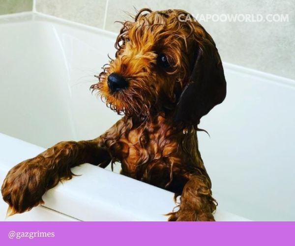 Cavapoo puppies: choosing a breeder