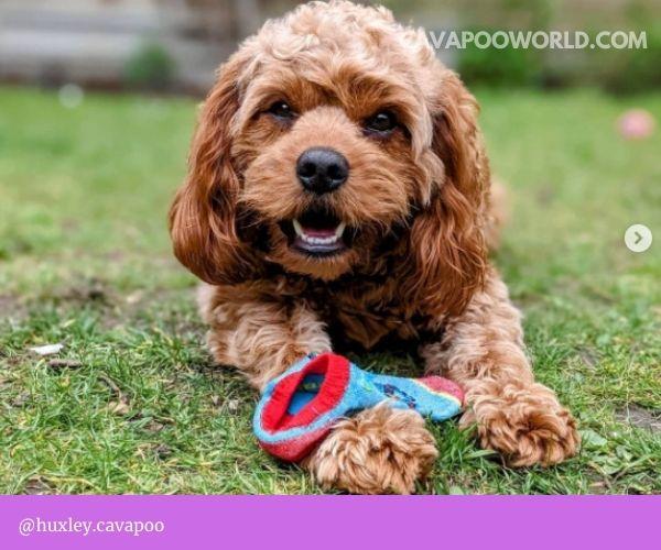 Cavapoo puppies: boys or girls?