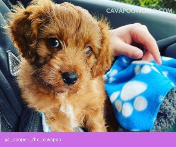 Cavapoo puppies: Bringing you puppy home
