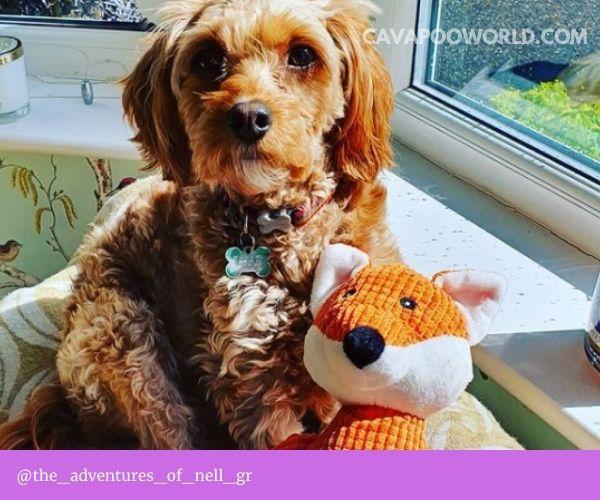 Cavapoo breeders PA: Finding Cavapoo puppies in PA