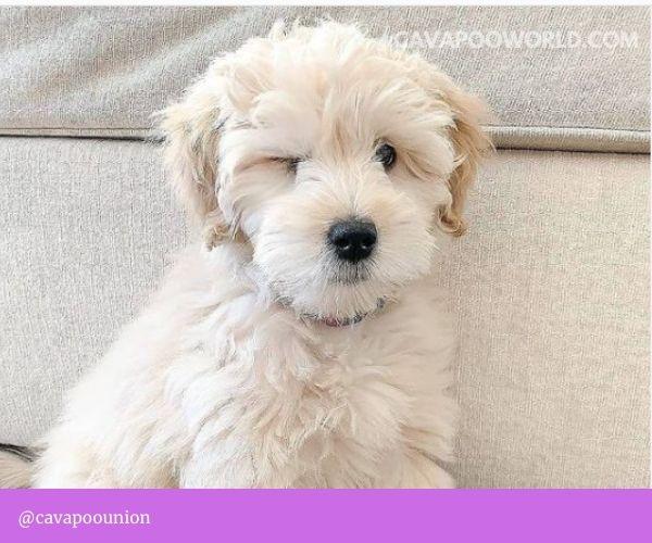 Cavapoo breeders in PA: Millers' Designer Cavapoo Puppies