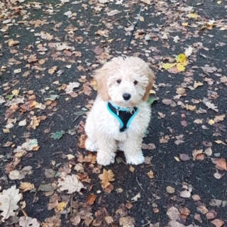 Teddy the cavapoo from South Wales, UK