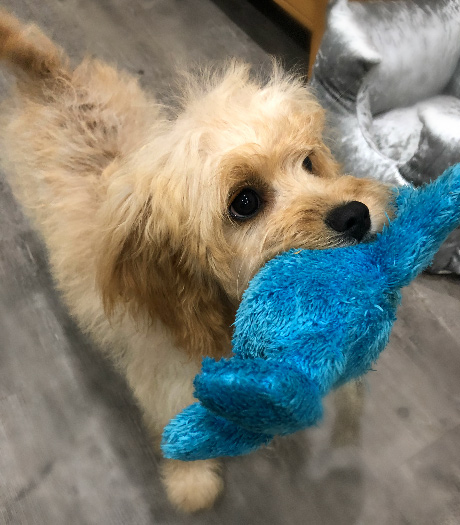 Perri the cavoodle from Cheltenham, England