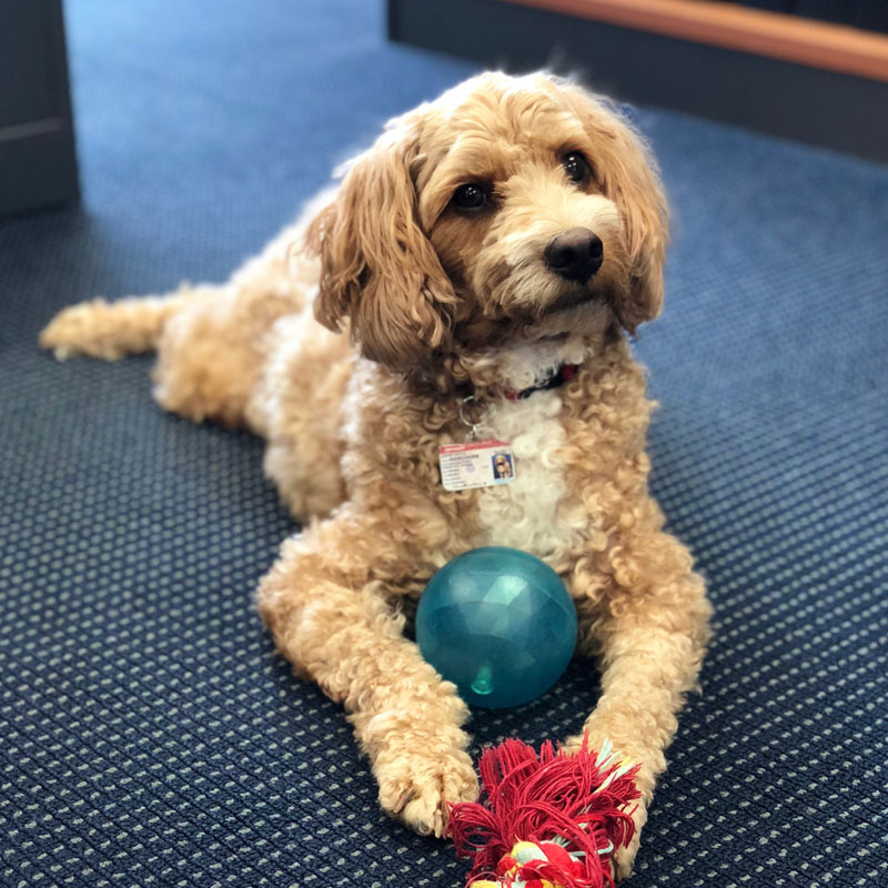 Jasper the cavoodle from Darwin, Australia