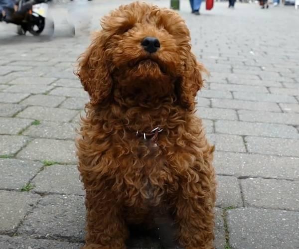 Cavapoo breeders in Ohio and puppies