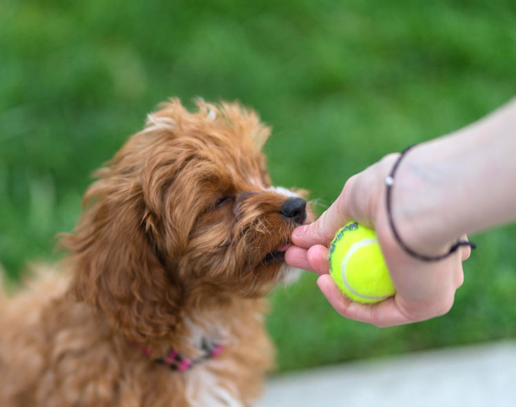 Charli Louise, the cavapoo puppy from Seattle