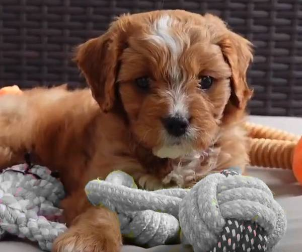 Cavapoo breeders NY - little puppy