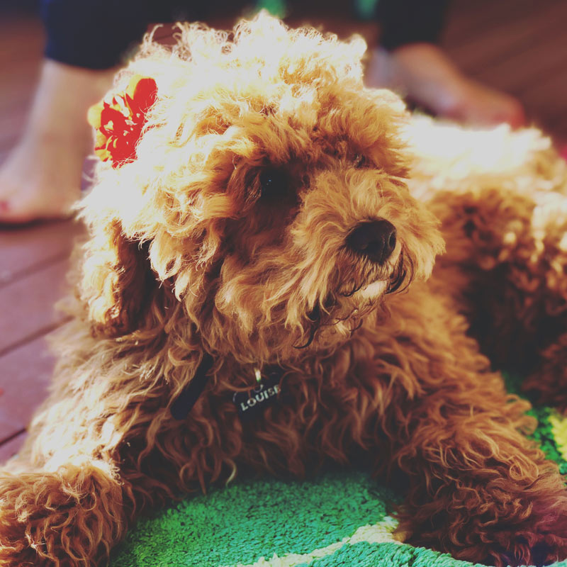 Thelma and Louise cavapoo from Sydney
