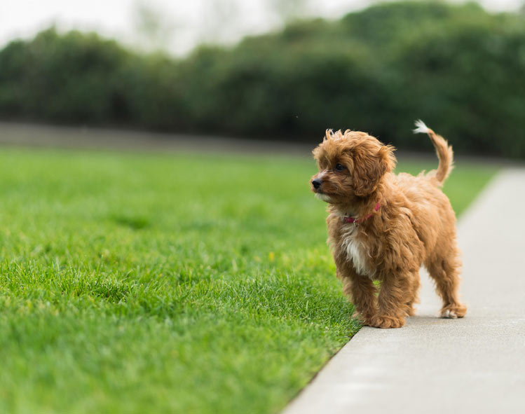 Charli Louise, the cavapoo puppy from Seattle - Cavapoo World