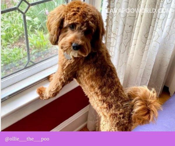 Cavapoo breeders in California: Cee Cee's Puppy