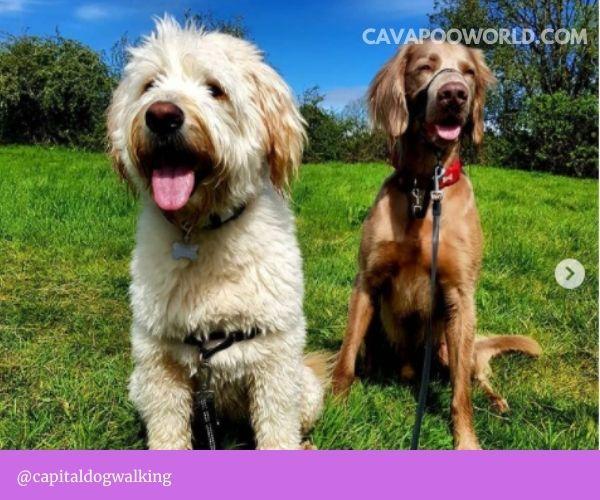 Cavapoo breeders in Texas: Calla Lily Cavapoo