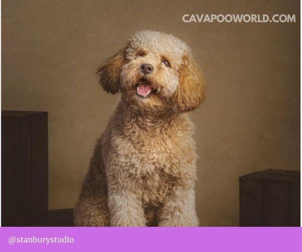 Cavapoo breeders in California: Calla Lily