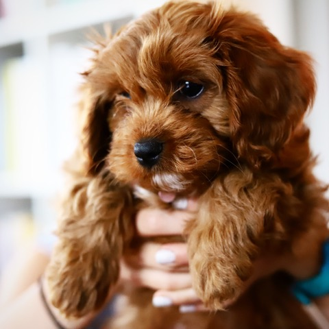 Pippa the cavapoo
