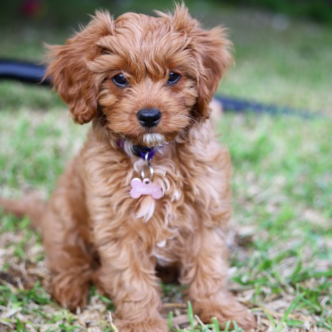 Harlow Pippa the cavapoo from Gerringong, Australia