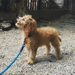 Ellie the cavapoo from Chicago, USA