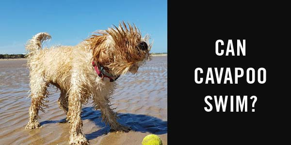 can cavapoo swim