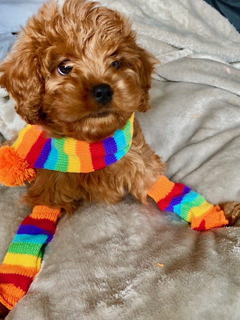 Merlot the cavapoo