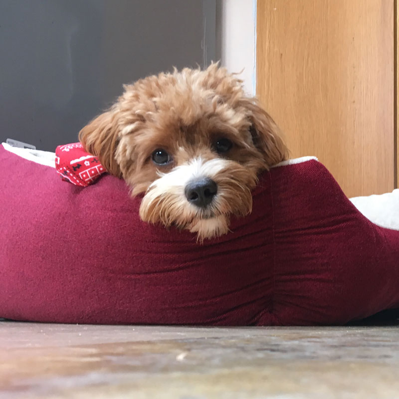 Milo Bailey, the cavapoo from London, UK