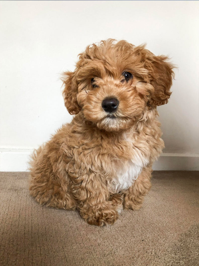 Sheppard the cavoodle from Melbourne, Australia