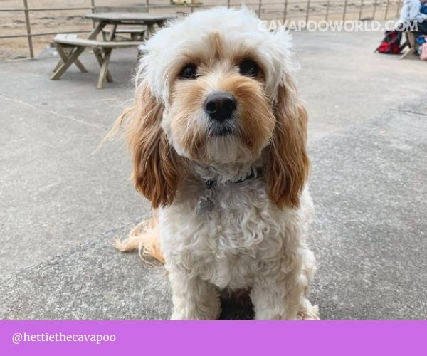 A cavapoo lifespan is 10 to 15 years on average