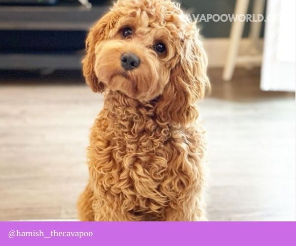 How to clean cavapoo ears - instructions