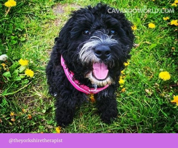 Cavapoo pros and cons - separation anxiety