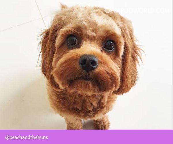 Cavapoo temperament: puppy vs adult