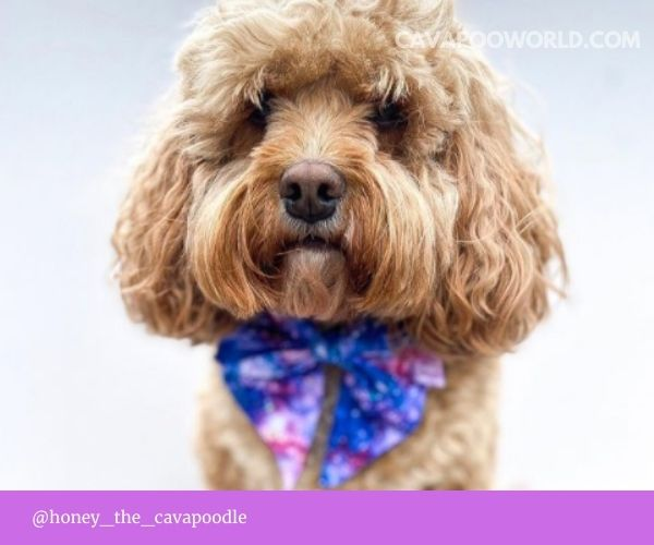 Cavapoo pros and cons - love