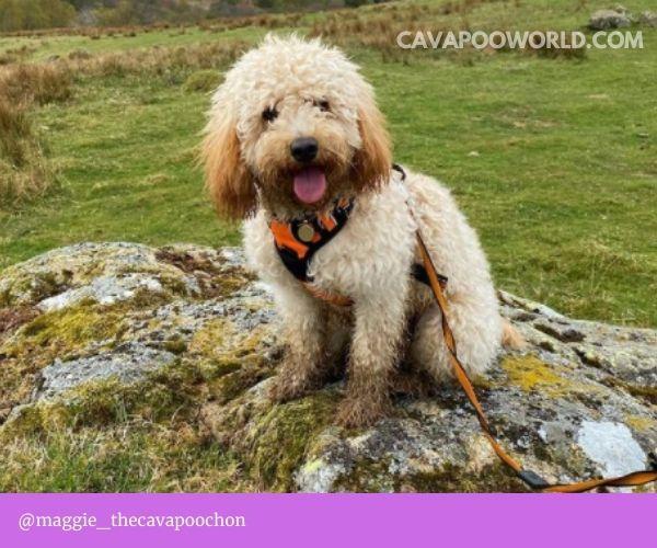 Cavapoo temperament: not a guard dog