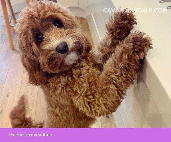 Best food for cavapoo - decisions