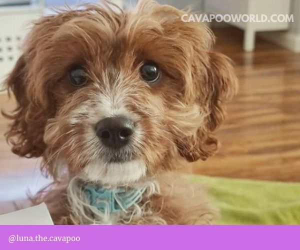 Why does my cavapoo smell: skin issues