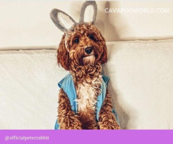 Cavapoo vs maltipoo dogs