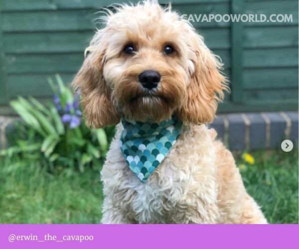 Mouth hygiene and your cavapoo smell