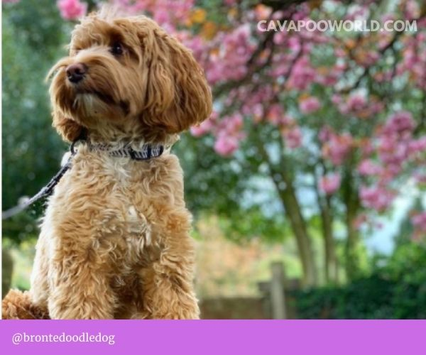 you shouldn't clean your cavapoo's ears too often
