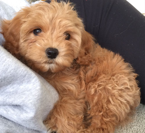 Cavapoo breeders in Alberta, CA: Country Home Kennels - puppy