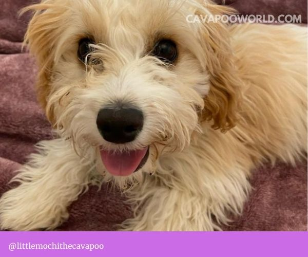 cavapoo grooming - Trimming your cavapoo's hair