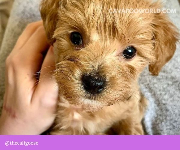Cavapoo grooming - Trimming your cavapoo's nails