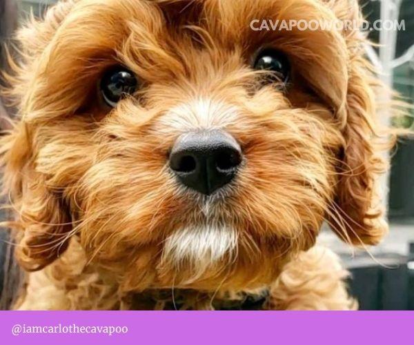 Cavapoo grooming - Bathing your cavapoo